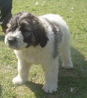 Front side view - A fluffy white with black Romanian Mioritic Shepherd Dog puppy is standing in grass looking forward.