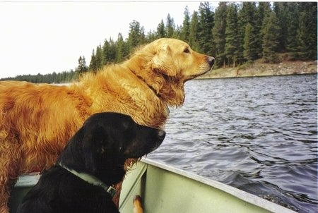 Two dog in a boat out on the water - A Golden Retriever/Black Labrador mix is standing in a boat next to a black dog that is laying in the boat.