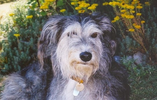 Close up upper body shot - A wiry, scruffy-looking, black with tan Greyhound/Deerhound/Saluki mix breed dog is laying outside in front of yellow flowers.