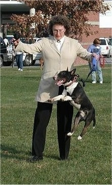 Chip the Mini Bull Terrier is in mid-jump outside in front of a person in a grey coat and black pants