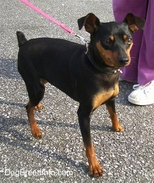A black and tan Miniature Pinscher is standing in a road with a person in purple pants and white sneakers next to it.