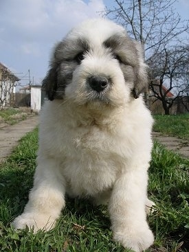 Close up view from the front - A fluffy, white with black Romanian Mioritic Shepherd Dog puppy is sitting in a strip of grass looking forward. There is a cement sidewalk on one side of it and a flagstone walkway on the other side.