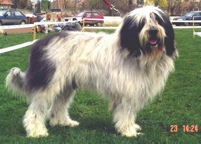 Side view - A long-coated, shaggy, white with black Mioritic dog is standing in grass at a dog show with a wooden fence with people on chairs behind it. The dog is looking forward with its mouth is open and tongue slightly out.