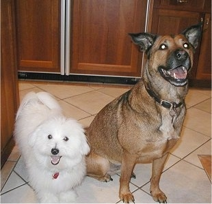 A small white Coton de Tulear dog is standing next to a larger brown with black perk eared dog on a white tiled floor in a kitchen. Both of there mouths are open. It looks like they are smiling