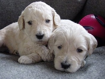 Two cream-colored Goldendoodle Puppies are cuddled together on a couch. There is a toy ball to the right of them