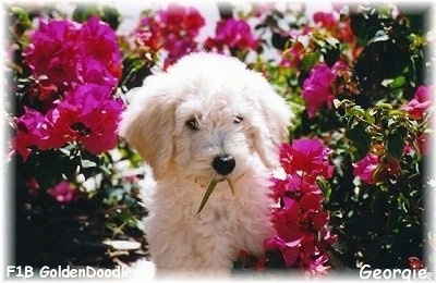 A cream colored Goldendoodle Puppy is standing in between hot pink flowers. It has a piece of a plant in its mouth