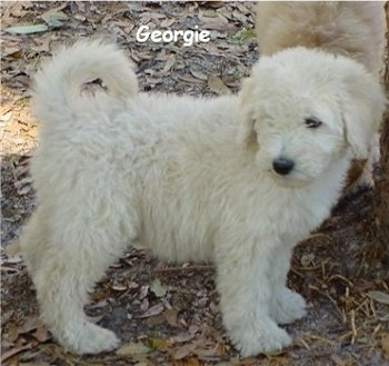 A white Goldendoodle Puppy is standing in leaves. There is another Goldendoodle puppy behind it. The words - Georgie - is overlayed
