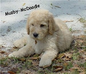 A tan Goldendoodle puppy is laying outside half way on a driveway and half way on grass. The words - Muzby-McDoode - is overlayed