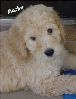 Close Up - A tan and cream Goldendoodle Puppy is laying in front of a sliding door. Its head is tilted to the left. The words - Muzby - is overlayed