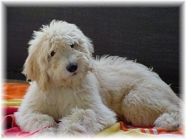 Goldendoodle Dog Breed Pictures 5