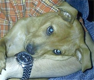 Close up - A tan with white Mountain Feist is laying in the arms of a man who is wearing an orange and tan flannel shirt, blue jeans and a watch on their wrist. The dog's head is sideways and it is looking forward.