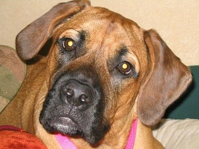 Close up head shot - A tan with black Nebolish Mastiff is wearing a pink collar laying on a human's bed with its head tilted to the right.