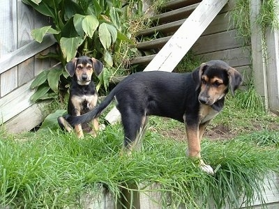 Two black and tan puppies outside in grass in front of a wooden barn - A black and tan New Zealand Huntaway puppy is sitting outside in front of a staircase. There is another black and tan New Zealand Huntaway puppy standing in grass and looking down and to the left.
