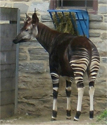 The front left side of an Okapi that is standing next to a wooden fence and in front of a stone wall. It is looking to the left.