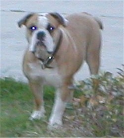 Front side view - A tan with white Olde Victorian Bulldogge is wearing a black collar standing in grass looking forward in front of a sidewalk.
