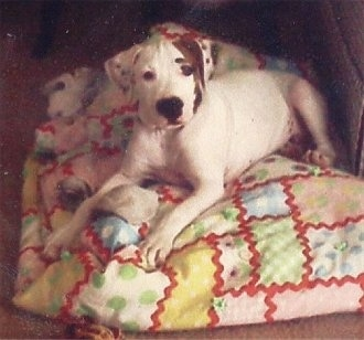 The front left side of a white with black American Pit Bull Terrier that is laying on a quilt with toys around it and it is looking forward.