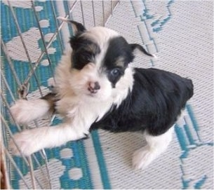 Zena the black and white Chinese Crested Powderpuff puppy is standing on a rug and has its paws jumped up against an x-pen