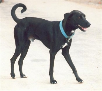 A tall, short-haired, rose-eared, black with a tuft of white Pariah Dog is wearing a blue collar walking across a road. Its mouth is open and it looks like it is smiling. The dog's tail is up and curled in a ring over its back.
