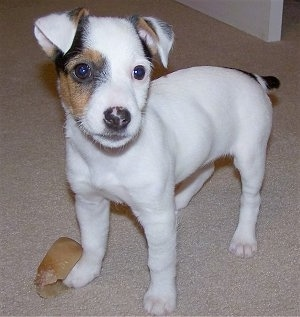 Jazmine the 9 week old Parson Russell Terrier