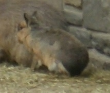 The back left side of a Patagonian Cavy sitting on Hay behind another big rodent