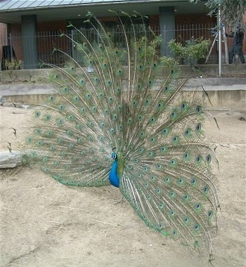 A peacock with an open train is standing in an enclosure and it is looking to the left.
