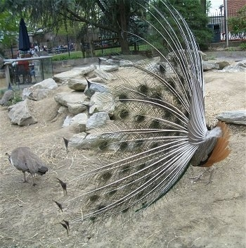 Side view - The white backside of a peacock looking to the right with its train open. There is a number of Peahens standing behind it on rocks in an enclosure.