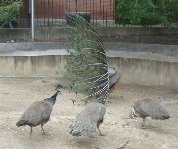 A Peacock with its train up is facing the left. There are three Peahens looking at it and one is pecking the ground.