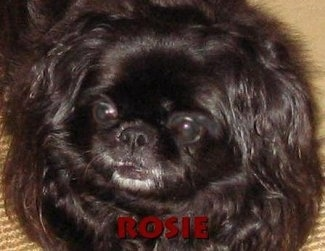 Close up head shot - The face of a black Pekingese that is laying on a carpet. It is looking up and to the left. The word - Rosie - is overlayed at the bottom middle of the image.