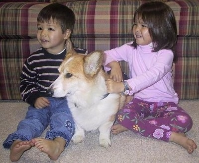 A tan with white Pembroke Welsh Corgi dog is sitting in between two children at the foot of a couch.