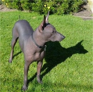 Front side view - A perk large-eared, hairless, black Peruvian Inca Orchid dog is wearing a thin black collar standing in grass looking to the right.