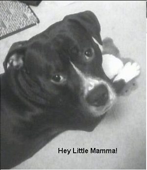 Close up - A black and white photo of a Pit Bull Terrier that is laying on that floor with a toy. Overlayed at the bottom of the image are the words 'Hey Little Mamma!'
