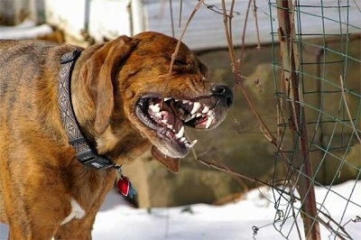A brown with black and white Plott Hound is chewing on a vine that is attached to a wire fence.  All of its white teeth are showing.