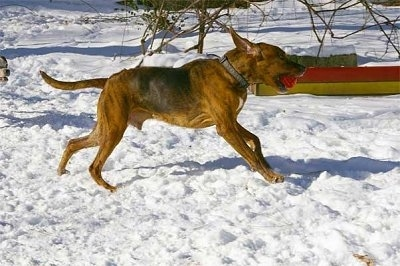 Action shot - A brown with black and white Plott Hound has a red ball in its mouth and it is running across a snowy surface.