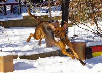 Action shot - A brown with black and white Plott Hound has a snow covered red ball in its mouth and he is jumping over a log. It is looking to the left. All four of its paws are off of the ground.