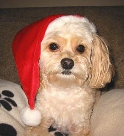 An apricot Pomapoo is wearing a Santa hat laying on a white blanket that has black paw prints on it looking forward.