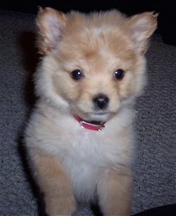 Close up - A fluffy tan with white Pomapoo Puppy is sitting on a carpeted floor and it is looking forward.
