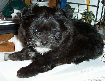 Close up side view - A black with white Pomapoo puppy is laying on a blanket and it is looking forward. It is all black with a patch of white on its chin.