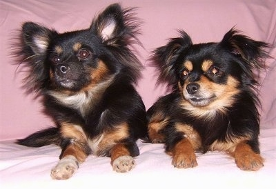 chihuahua pomeranian mix full grown pomchi dog breed pictures 2 6929