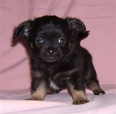 Front view - A small black with brown and white Pomchi puppy is standing on a pink blanket and it is looking forward.