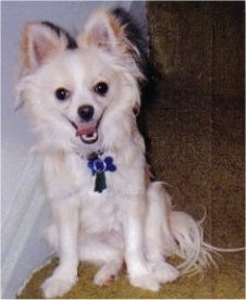 A happy looking white with tan Pomchi is sitting on a hardwood floor and it is looking forward. Its mouth is open and its tongue is out. It has longer hair on its ears and tail.