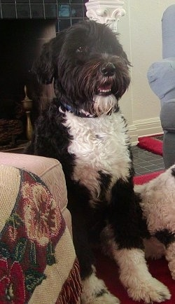 A black with white Portuguese Water Dog is sitting to the right of an ottoman and to the right of the dog is another laying Portuguese Water Dog.