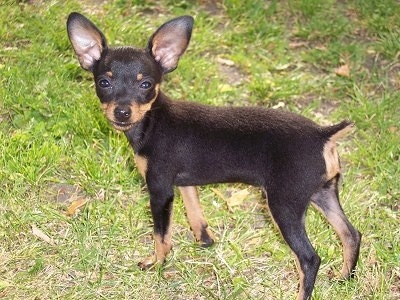 Side view - The right side of a black with tan Prazsky Krysarik puppy is standing in grass and it is looking forward. The dog is squinting. Its tail is cropped short and it has large perk ears and a short coat.