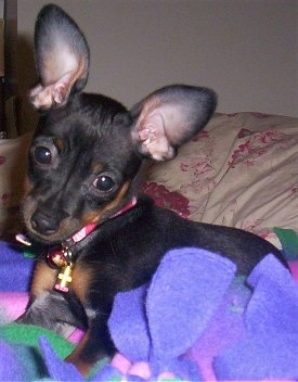 Front side view - A large-eared, short haired, black with tan Prazysky Krysarik puppy is laying on a bed on top of a purple blanket looking forward. Its head is tilted to the right.