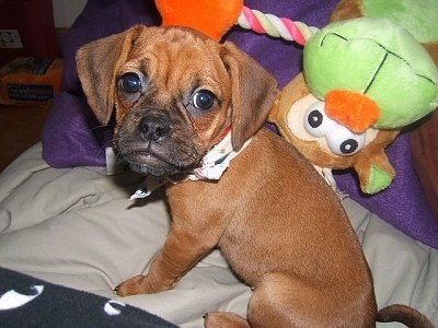 Close up - The left side of a red Puggle puppy that is sitting on a bed and to the right of it is a monkey doll. The Puggle is wearing a bandana. The dog's head is large compared to its body.