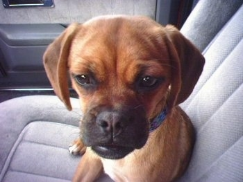 Close up head shot - A red Puggle puppy is laying in the passenger side of a vehicle and it is looking forward.