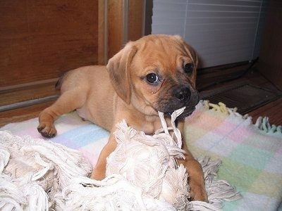 A brown Puggle puppy is laying on a rug and it is chewing on a blanket. Its head is slightly tilted to the left