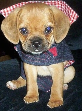 Close up front view - A tan Puggle puppy is sitting on a bed and it is wearing a jean jacket that has red and white plaid on the inside.