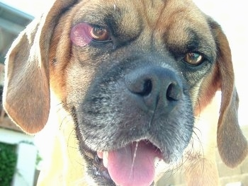 Close up - The face of a brown with black and white wrinkly faced Puggle that is looking down at the camera, its mouth is open and its tongue is out.