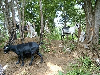 Two shaved Great Pyrenese dogs and three goats on a hill. A Great Pyrenees is laying next to a tree, in front of it is a white and black goat. There is another Great Pyrenees sitting in dirt in between two small trees. There is a black with white goat behind it