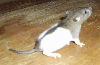 The backside of a white and grey Rat that is standing on a hardwood floor. It is looking up and to the right.